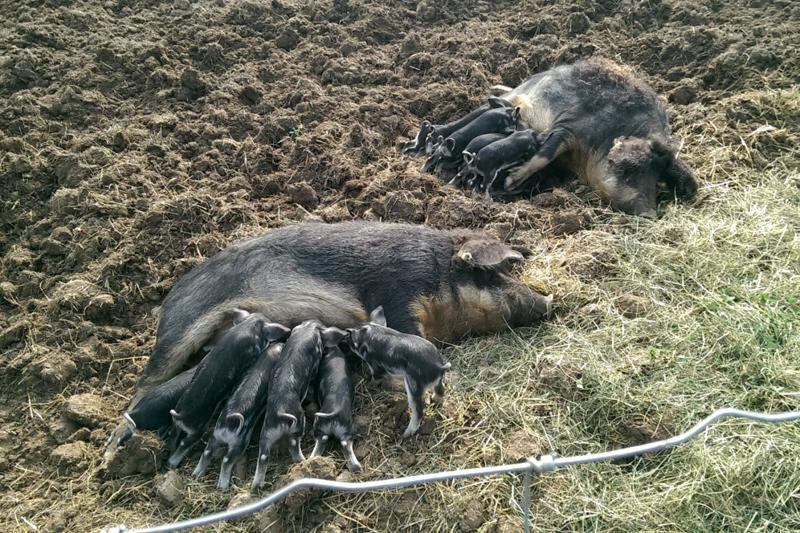 Baumgartner Mostviertler Weideschweine